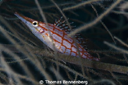 hawkfish